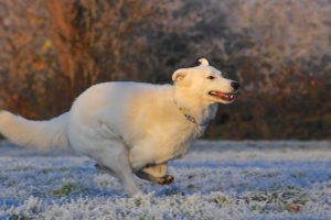 White German Shepherd Pictures
