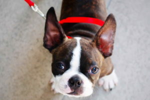 Boston Terrier Brown