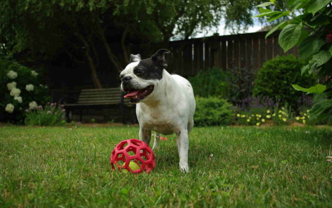Boston Terrier Funny Pictures