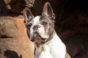 Boston Terrier Pics