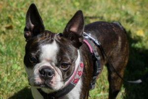 Boston Terrier Wallpaper