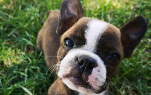 Brown Jack Russell Terrier