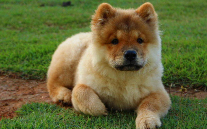 Chow Chow Puppy Images