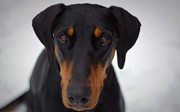Dachshund Breed Dogs