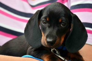 Dachshund Puppy Black