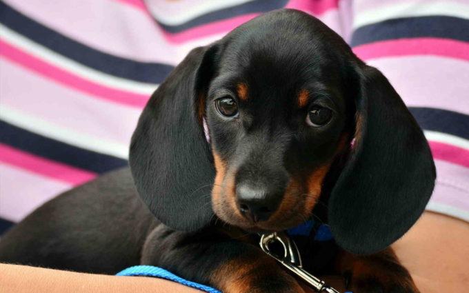 Dachshund Puppy Black