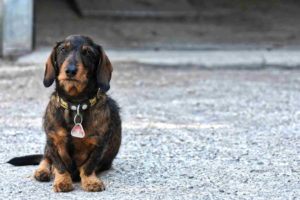 Dachshund Puppy Brown