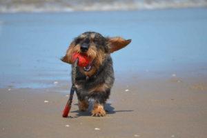 Dachshund Puppy Images