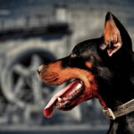 Doberman Dog Image