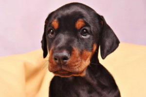 Doberman Dog Puppy
