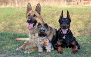 Doberman With Other Dogs
