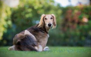 Dog Saluki