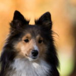 Dog Sheltie Breed