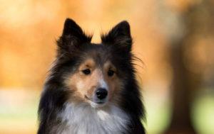 Dog Sheltie Breed