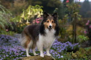 Dog Sheltie Picture
