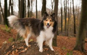 Dog Sheltie Pictures