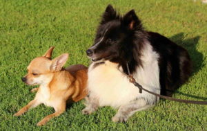 Dog Shetland