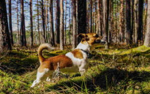Image Of Jack Russell Terrier