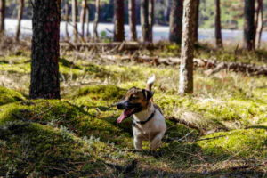 Images Of Jack Russell Terrier