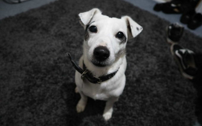 Images Of Jack Russell Terriers