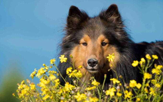 Images Of Sheltie