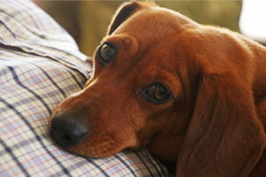 Images of Dachshund
