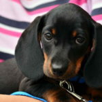 Images of Dachshund Dog