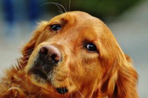 Irish Setter Dog Breed