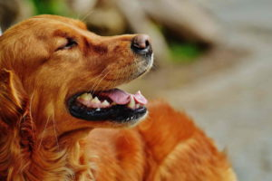 Irish Setter Wallpaper