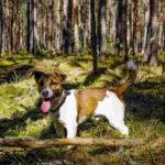 Jack Russell Terrier Full Grown