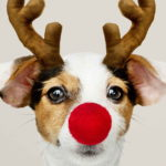 Jack Russell Terrier Funny