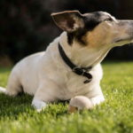 Jack Russell Terrier Images