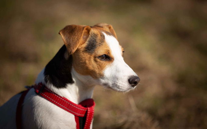 Jack Russell Terrier Wallpaper