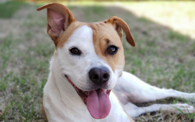 Jack Russell Terrier White And Brown