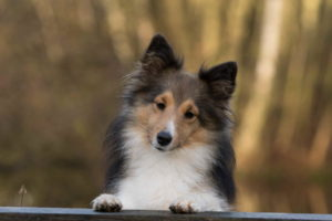 Picture of Sheltie