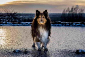 Picture of Sheltie Dog