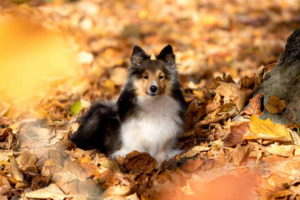 Picture of Sheltie Puppies