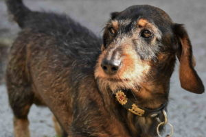 Pictures Of Dachshund