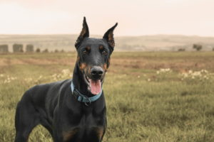 Pictures Of Doberman