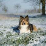 Sheltie in snow