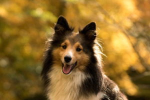 Sheltie Dog Breed