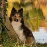 Sheltie Dog Pictures