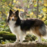 Sheltie Full Grown