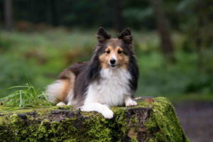 Sheltie Images Dog
