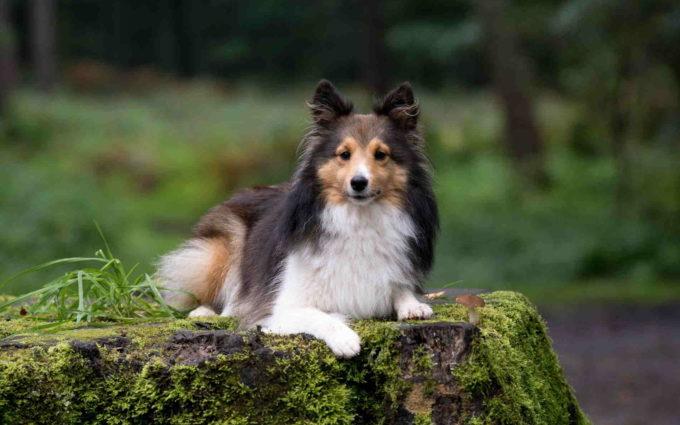 Sheltie Images Dog