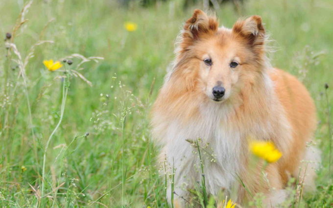 Sheltie Mix