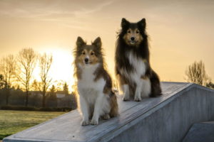 Sheltie Mix Dog
