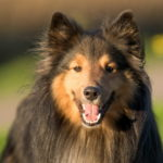 Shetland Dog HD Wallpapers