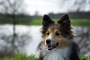 Shetland Dog Picture