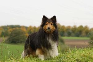 Shetland Sheepdog Images